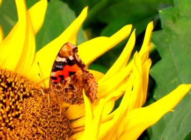 蝶&向日葵
