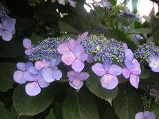 額紫陽花2005
