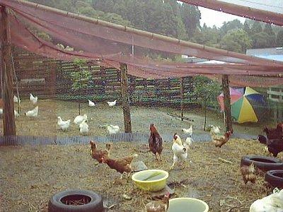 こけこっこ村 鶏舎風景
