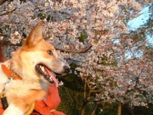 ちゃまと桜