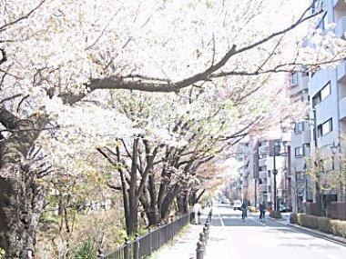 20030410散歩道桜