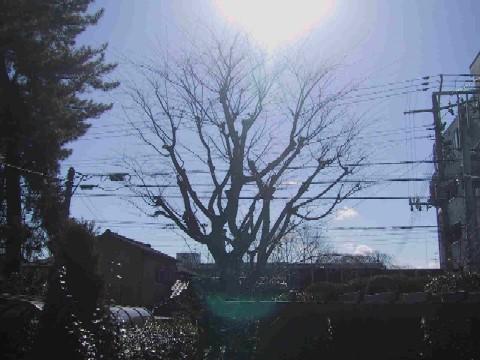 冬の日のケヤキ