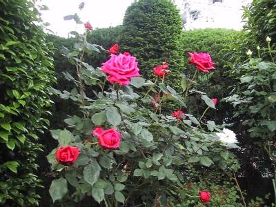 赤薔薇木立
