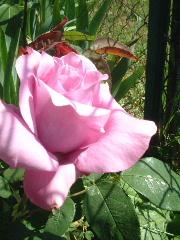 田舎のウチの花7