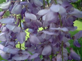 田舎のウチの花2