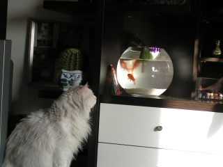 金魚を見るミミ