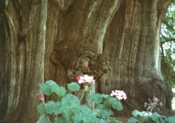 ライオンに見えるトゥーレの木