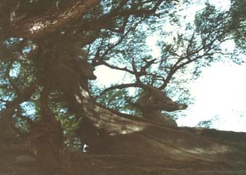 鹿に見えるトゥーレの木