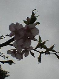 tamareienn no sakura