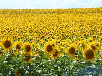 リヨン郊外の大向日葵畑