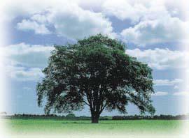 はるにれの木