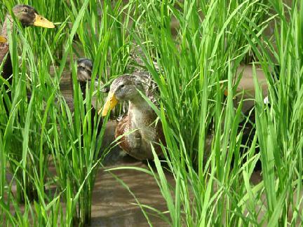 棚田で働く合鴨たち