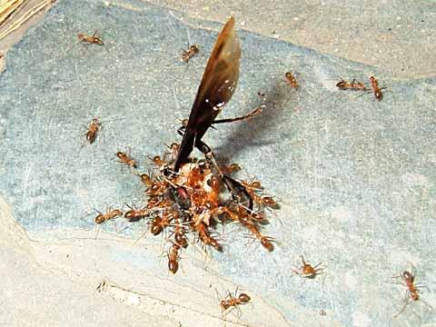 スズメバチの死骸にたかるアリ