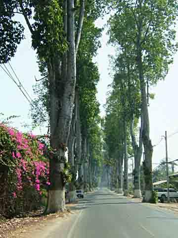 巨木の並木