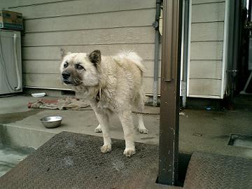 ほえてる犬