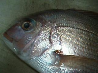 200501塩焼きサイズ