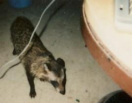 管理小屋で原稿執筆中に狸が遊びに来る