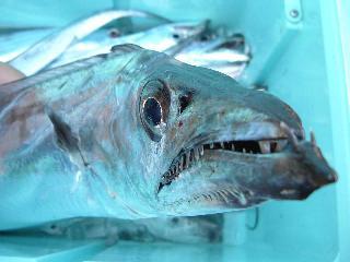 11月23日の太刀魚(目がでかいど~)