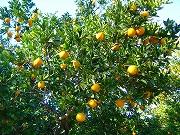 今が旬のオレンジ
