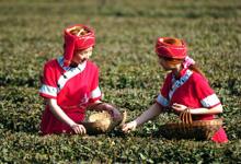 春の茶摘み