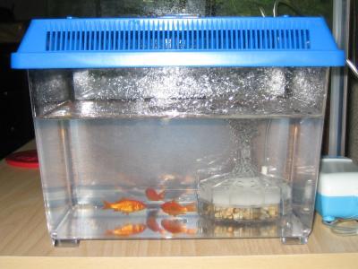 金魚20050827
