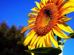 ひじょうに綺麗な向日葵