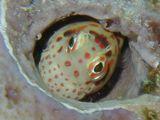 カエルウオの仲間。小指の先ほどの大きさ。