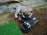 サンダルとじゃれる子犬の赤ちゃん