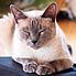 Tonkinese Times